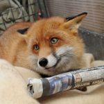 Домашняя лисица Рокси